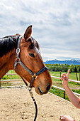 Horse at riding lessons outdoors, Chiemgau, Bavaria, Germany