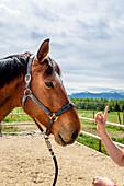 Pferd bei Reitunterricht im Freien, Chiemgau, Bayern, Deutschland