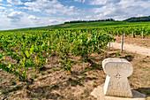 Weinanbau in der Champagne, Montagne de Reims, Route du Champagne, Frankreich