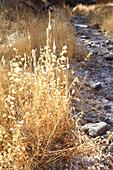 Grasses in Pinnacles National Park, California, USA.