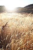 Grasses backlit in Pinnacles National Park, California, USA.