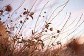 Gräser bei Sonnenaufgang im Joshua Tree Park, Kalifornien, USA