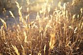 Grasses backlit in Joshua Tree Park, California, USA.