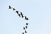 Brown ibis (Plegadis falcinellus) flying in the Danube Delta, Tulcea, Romania.