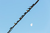 Swallows have returned to the Danube Delta, sitting on power cables in the evening sun, including the moon, Mila 23, Tulcea, Romania.