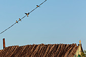 The swallows have returned to the Danube Delta, sitting in the evening sun in April on power cables over a reed-covered fisherman's hut, Mila 23, Tulcea, Romania.
