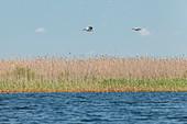 Danube Delta: Two pelicans, the master sailors, soar over reeds in Lacul Matita, Mila 23, Tulcea, Romania.