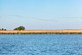 Danube Delta: A large flock of pelicans hovers over Lacul Babina, Mila 23, Tulcea, Romania.
