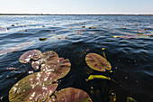 Lily pads in the Danube Delta, Mila 23, Tulcea, Romania.