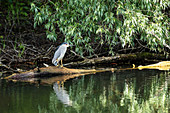 Night heron (Nycticorax nycticorax) on a log in the Danube Delta, in April, Mila 23, Tulcea, Romania.