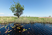 Danube Delta, tree on the bank of an arm of water with water lilies, Letea, Danube Delta, Tulcea, Romania,