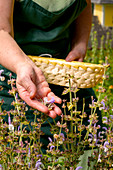 Woman collecting herbs, homemade things with herbs from her own garden