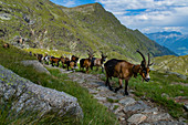 In the South Tyrolean Texel Group Nature Park, the high alpine pastures are farmed with goats, sheep and individual cattle, just like around the Oberkaseralm.