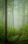 Fog in the spring beech forest, Baierbrunn, Bavaria, Germany