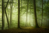 Beech forest on a morning in May, Baierbrunn, Bavaria, Germany
