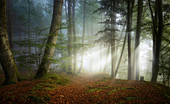 November morning in the beech forest, Baierbrunn, Bavaria, Germany