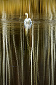 Swan is reflected in the moor lake; Weilheim, Bavaria, Germany