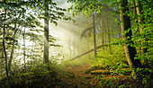 Morning mist in the beech forest in springtime, Baierbrunn, Bavaria, Germany