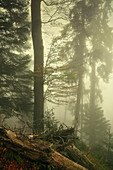 Thick fog in the mountain forest, Kochel am See, Bavaria, Germany
