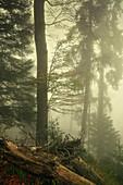 Dichter Nebel im Bergwald, Wald bei Kochel am See, Bayern, Deutschland