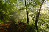 Sunlit beech forest in spring, Baierbrunn, Bavaria, Germany