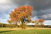Autumnal plum tree on the wooden meadows near Birklingen, Iphofen, Kitzingen, Lower Franconia, Franconia, Bavaria, Germany, Europe