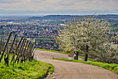 View from Ehaben with cherry blossom to Schallstadt and Tuniberg, Breisgau, Baden-Wuerttemberg, Germany, Europe
