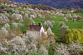 Berghauser Chapel amid blooming cherry trees on the Berghauser Matten near Ehaben, Breisgau, Baden-Wuerttemberg, Germany, Europe
