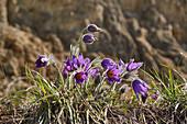 Pasque Flower near Gottenheim, Breisgau, Southern Black Forest, Baden-Wuerttemberg, Germany, Europe