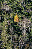 View of a yellow larch in the Karwendel mountain landscape in autumn, Ahornboden, Hinterriß, Tyrol, Austria, Europe
