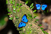 Butterflies warm in the morning sun, Myscelia orsis, Mata Atlantica, Bahia, Brazil, South America