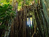 Strangler fig overgrown ruin, Ficus sp., Coastal rainforest, Mata Atlantica, Bahia, Brazil South America