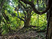Jackfruit tree, Artocarpus heterophyllus, coastal rainforest, Mata Atlantica, Bahia, Brazil, South America