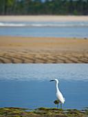 Egret on the beach, Egretta thula, Boipeba Island, Bahia, Brazil, South America