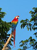 Scarlet Macaw, Ara macao, rainforest, Amazon basin near Manaus, Brazil, South America