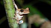 Frog in the Amazon rainforest near Manaus, Osteocephalus oophagus, Amazon basin, Brazil, South America