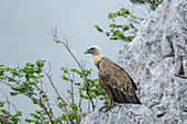 Griffon vulture sits on ledge in the fog, Gyps fulvus, Picos de Europa, Picos de Europa National Park, Cantabrian Mountains, Asturias, Spain
