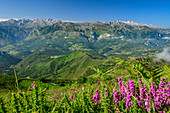 Pink blooming heather with Picos de Europa in the background, from Picu Tiedu, Picos de Europa, Picos de Europa National Park, Cantabrian Mountains, Asturias, Spain