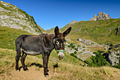 Donkey with Pic du Midi d'Ossau in the background, Col du Pourtalet, Pyrenees National Park, Pyrénées-Atlantiques, Pyrenees, France