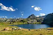 Kühe weiden am Lac Roumassot, mit Pic du Midi d´Ossau im Hintergrund, Lac Roumassot, Nationalpark Pyrenäen, Pyrénées-Atlantiques, Pyrenäen, Frankreich