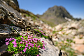 Blooming catchfly with mountain out of focus in the background, Lac d´Arremoulit, Pyrenees National Park, Pyrénées-Atlantiques, Pyrenees, France
