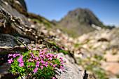 Blühendes Leimkraut mit Berg unscharf im Hintergrund, Lac d´Arremoulit, Nationalpark Pyrenäen, Pyrénées-Atlantiques, Pyrenäen, Frankreich