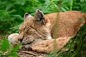 Lynx sleeps, lynx, Poing Wildlife Park, Upper Bavaria, Bavaria, Germany