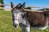 Donkey on the Alpe di Siusi in South Tyrol, Italy