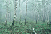 Spring morning mist in the birch forest, Bavaria, Upper Bavaria, Germany
