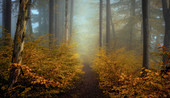 November morning in the foggy beech forest, Bavaria, Upper Bavaria, Germany