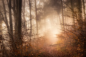 European beech forest on a November morning, Bayern, Upper Bavaria, Germany
