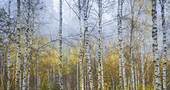 Fog morning in the autumn birch forest, Bavaria, Upper Bavaria, Germany