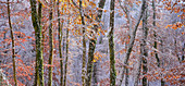 Onset of winter in the beech forest, Upper Bavaria, Bavaria, Germany