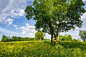Flowering rapeseed near Ebenhausen, Upper Bavaria, Bavaria, Germany